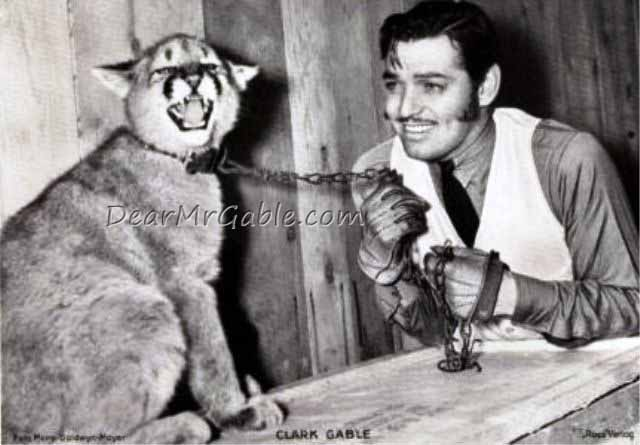 clark gable mountain lion